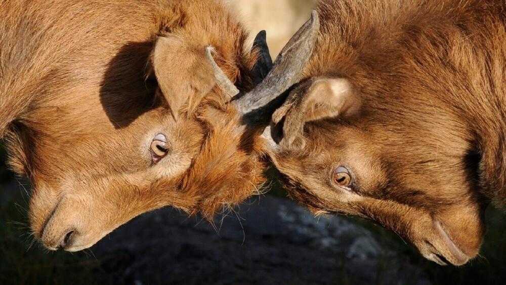Headbutting serves many purposes for goats (1)