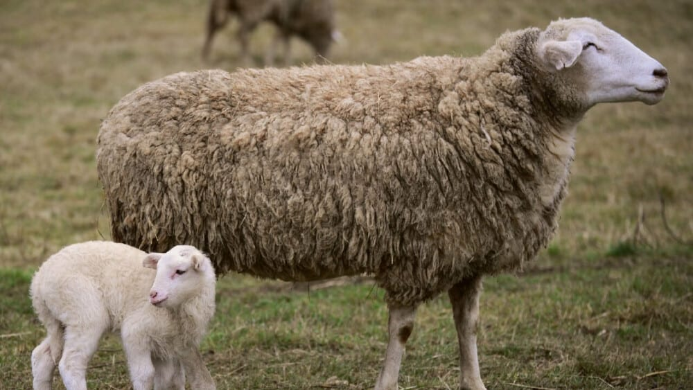 Mamma sheep can become aggresive (1)