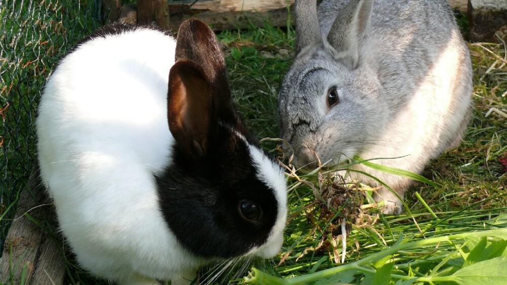 Mites cause hair loss and spread easily between rabbits (1)