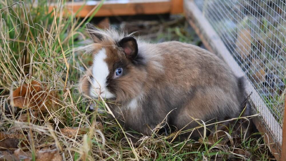 Molting rabbits need constant access to roughage (1)