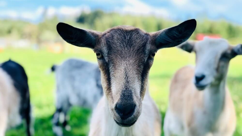 My goat is coughing- what to do (1)