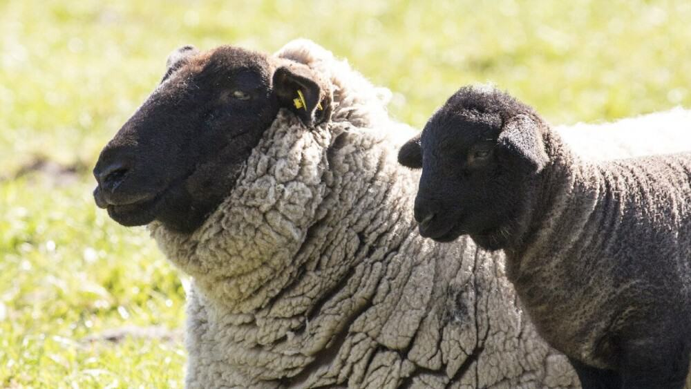 Poor handling can cause aggressive sheep (1)