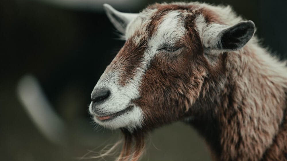 Protect goats from pneumonia (1)