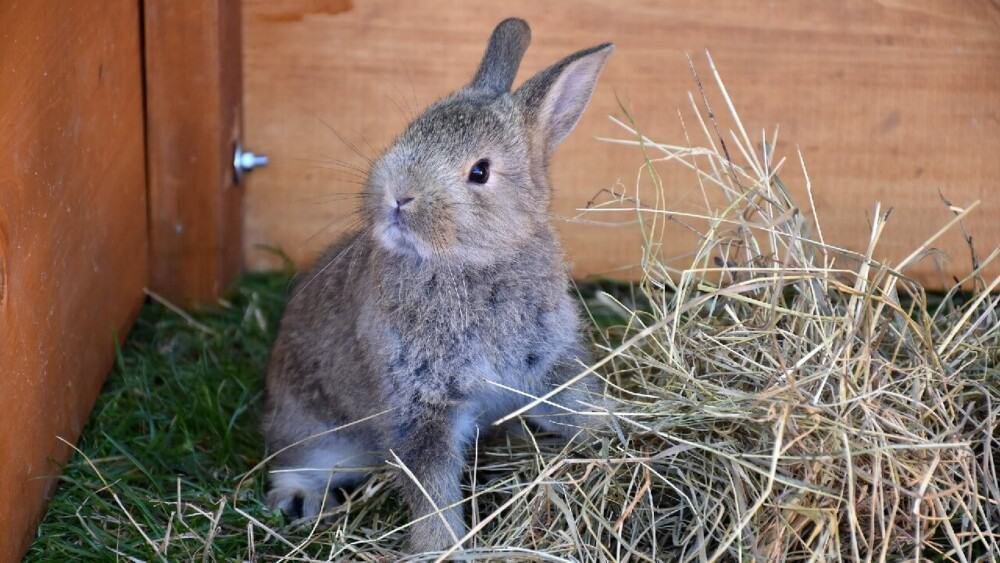 Rabbits should have constant access to hay to avoid dental issues (1)