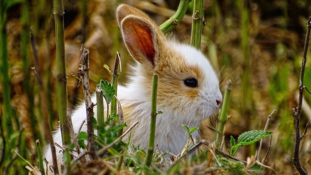 Reasons rabbits lose hair (1)