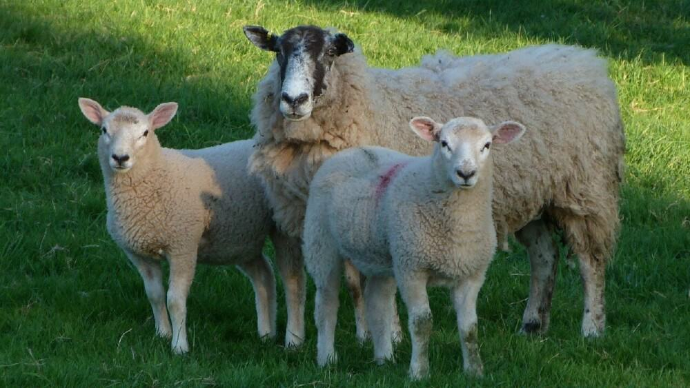 Sheep are more aggressive during breeding times (1)