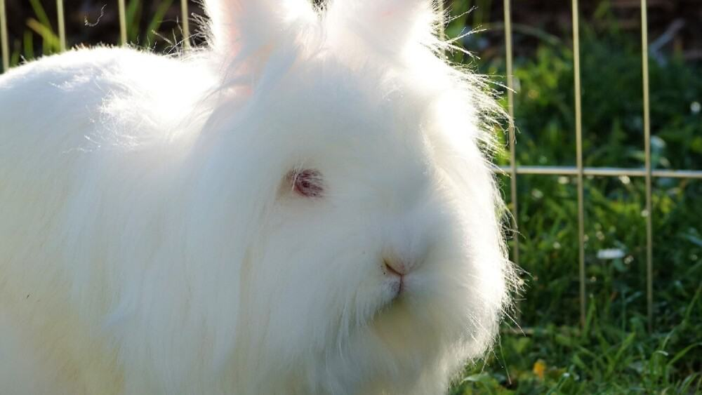 Snuffles causes fur loss around eyes and mouth (1)