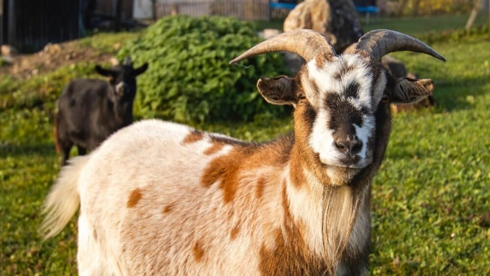 Some goat vaccines can save your goats (1)
