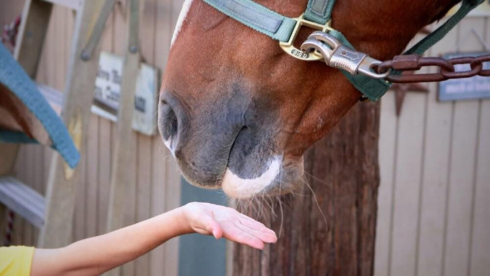 Touching horse's mouth encourages biting (1)