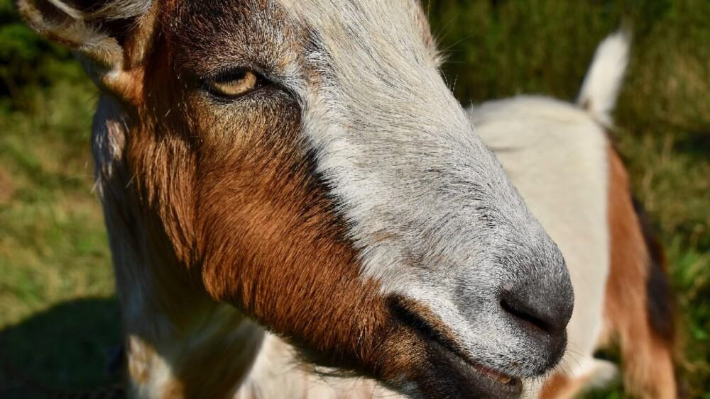 Treat bloated goats quickly to help them! (1)