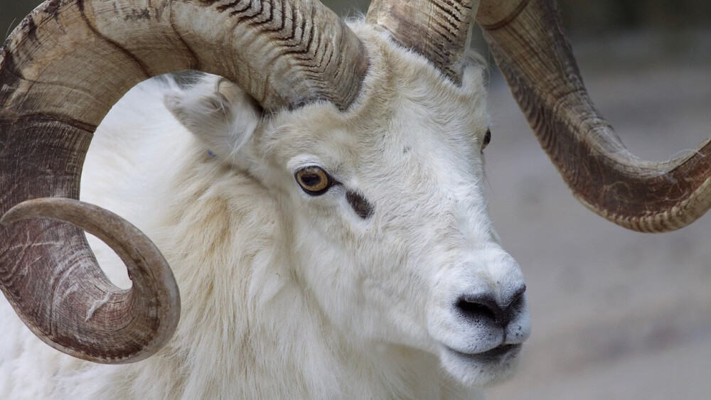 Why are my ram sheep aggressive (1)