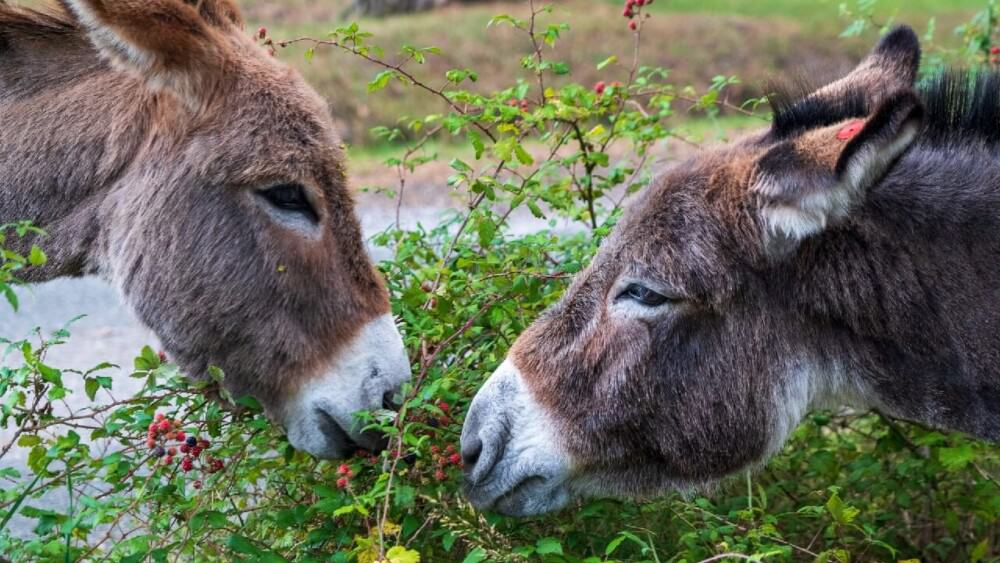donkeys show love