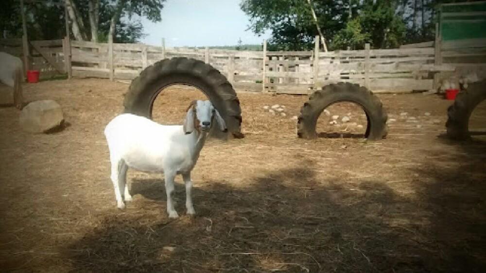 goats naturally headbutt as part of play (1)