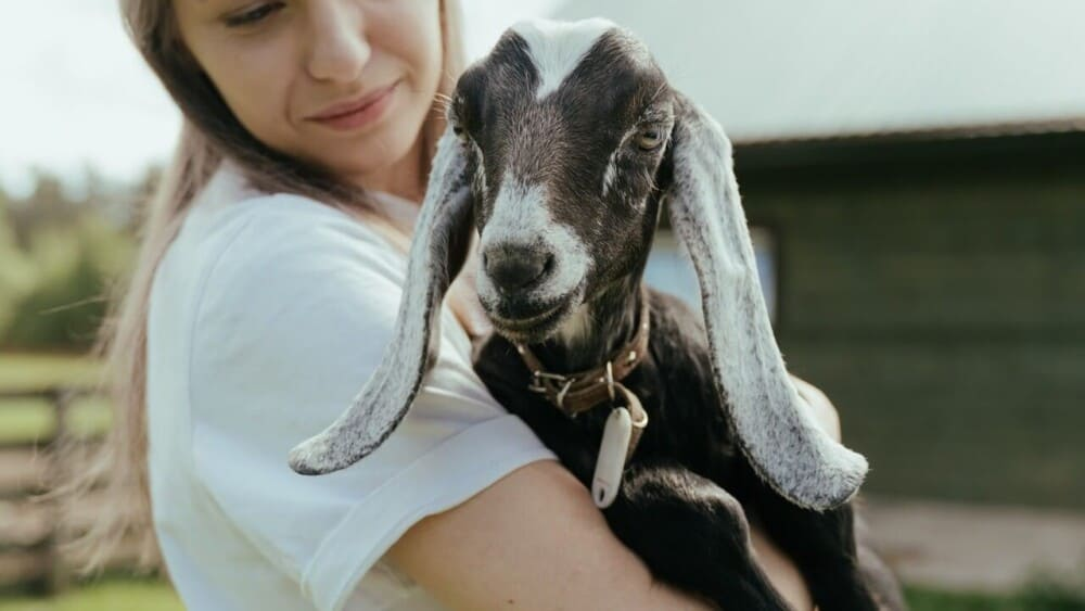 never pet goats on the head, even when they are pets. (1)