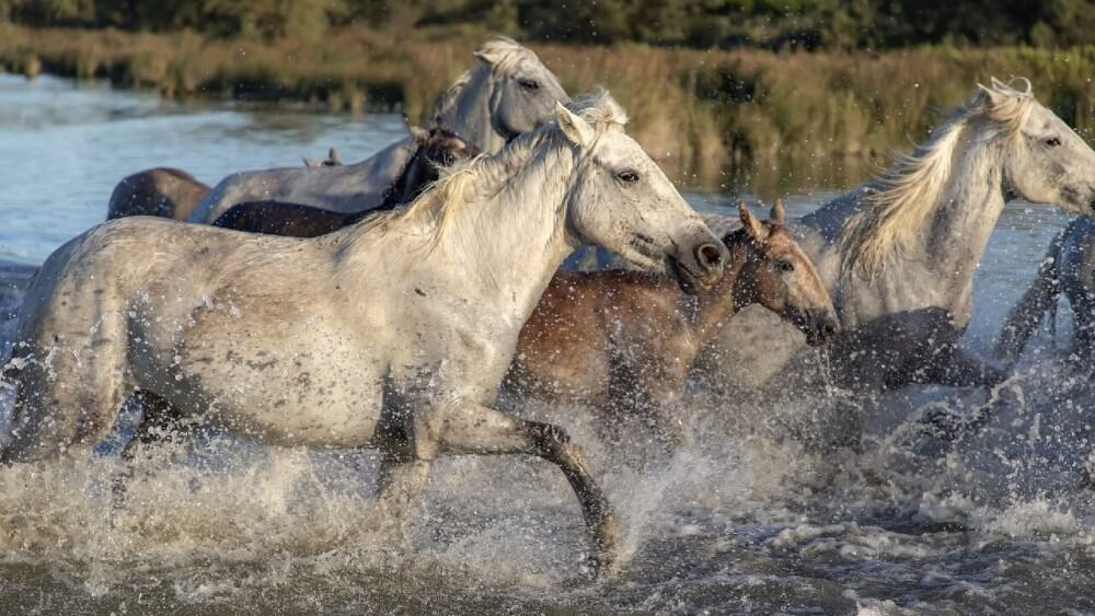 wild horses show signs of jealousy (1)